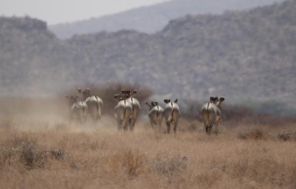 Grevy's zebra (Equus grevyi) is the largest of the zebra species and also the most threatened, listed as Endangered by the IUCN. A 2008 assessment put the total population at fewer than 3,000 individuals alive today. Photo by Zeke Davidson.