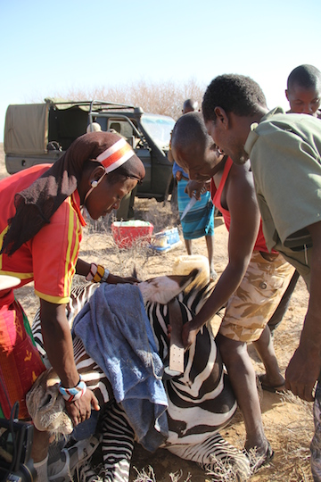 An excited team, including members of the Samburu tribe, works quickly on an a sedated female ensuring that the GPS collar is properly fitted. Photo by Nika Levikov/Marwell.
