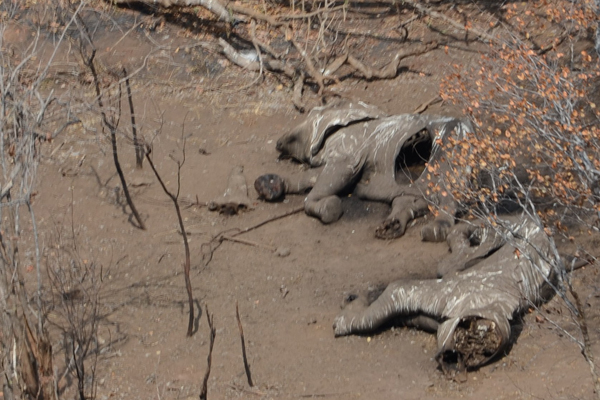 Carcasses in Niassa National Reserve, the hardest hit park in Mozambique . Photo by: Alastair Nelson/ WCS.