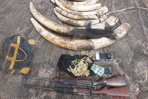 Confiscated ivory and weapons from Niassa Reserve. Photo by: Alastair Nelson/ WCS.
