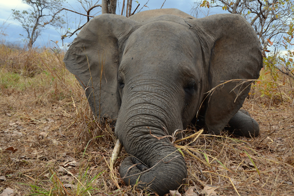 Poached elephant in Niassa National Reserve. Photo by: Alastair Nelson/ WCS.