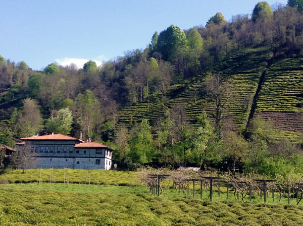 A traditional stone-and-timber house and tiers of tea bushes in the Çağlayan Valley, where eight hydropower projects are planned. Photo: Jennifer Hattam