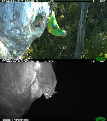 A sugar glider vists a swift parrot nest.Photo courtesy of Dejan Stojanovic.
