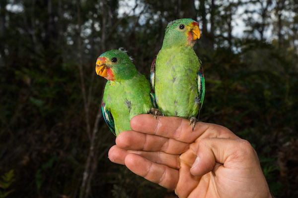 Young swift parrots (Lathamus discolour). Photo courtesy of Dejan Stojanovic.