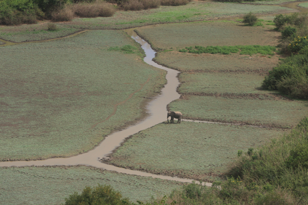 An elephant in Selous. This UNESCO World Heritage Site has been infiltrated by poachers who have wiped out many of its elephants. Photo by: USFWS.
