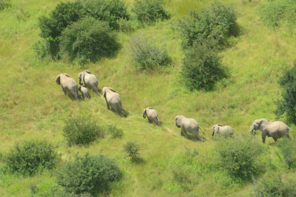 Aerial view of elephant herd in Ruaha National Park. Elephants have been decimated in this protected area. Photo by: Cristian Samper/WCS.