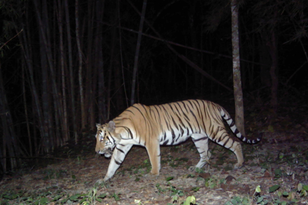 Conservationists catch tiger in Thailand's Chaloem Ratanakosin National Park for the first time, raising hopes that the nearby population is expanding. Photo by: ZSL and Thailand's Department of National Parks.