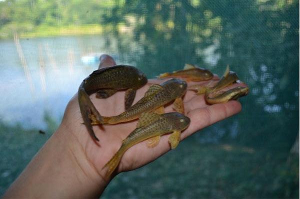 Amazon fish, Loricaridae. Photo credit: Sebastian Heilpern.