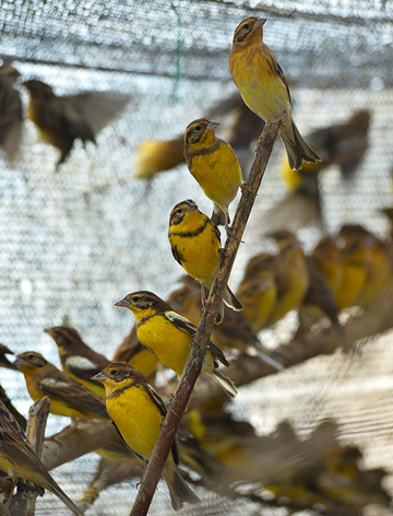 Trapped yellow-breasted buntings in China. Photo by: Huang Qiusheng.