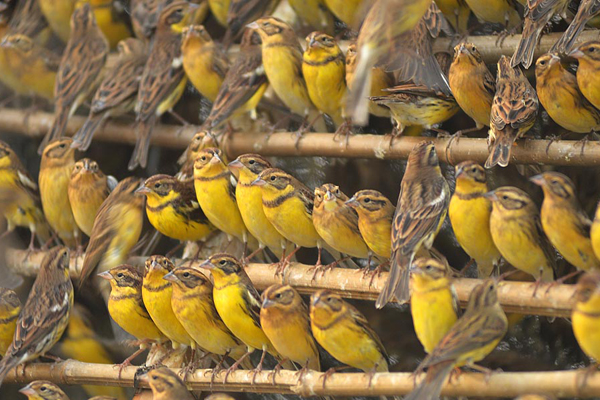 Confiscated yellow-breasted buntings in China. Photo by: Huang Qiusheng.
