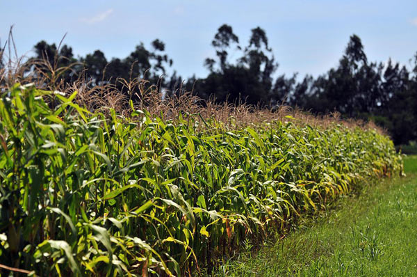 Corn growing in Santa Cruz, Bolivia. The question of whether or not to allow genetically modified corn was one of the most divisive issues at the agricultural summit. Ultimately, participants failed to reach an agreement. Photo credit: International Center for Tropical Agriculture under a Creative Commons Attribution-Share Alike 2.0 Generic license