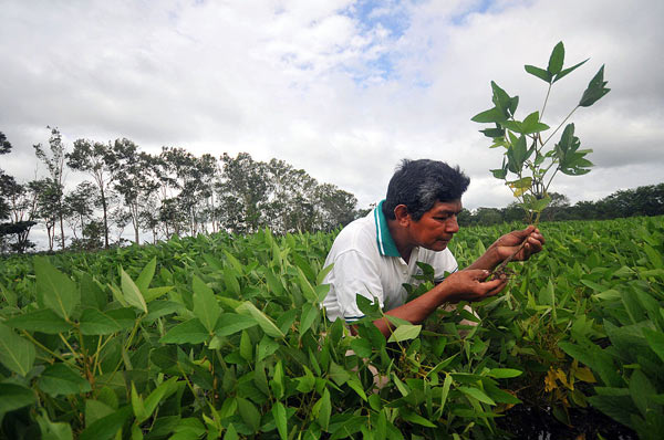 A farmer inspects a soy plant. The expansion of soy production in Bolivia has contributed to deforestation, especially in the state of Santa Cruz. Photo credit: International Center for Tropical Agriculture under a Creative Commons Attribution-Share Alike 2.0 Generic license