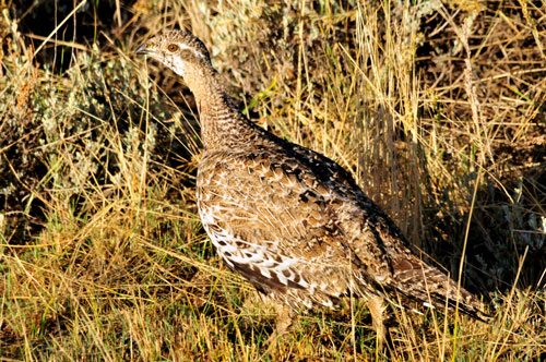 A sage grouse hen blends in with its prairie surroundings. Photo credit: USFWS.