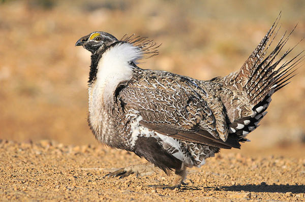 A sage grouse struts his stuff. Photo credit: Tom Koerner/USFWS.