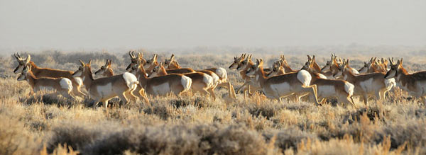 The bird shares its Western High Plains habitat with 350 imperiled plant and animal species, including elk, mule deer and these pronghorn. Photo credit: Tom Koerner/USFWS.
