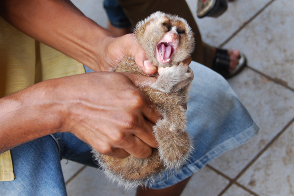 Pulling slow loris teeth out. Photo courtesy of: International Animal Rescue.