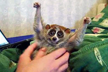 Slow loris raise their arms in defense when they are tickled. Photo from YouTube Video.