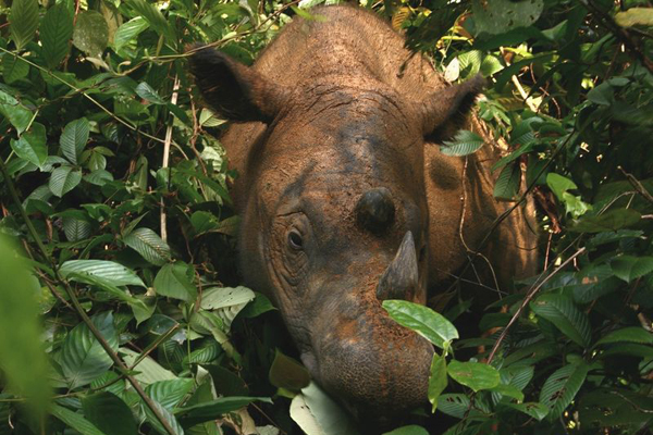 Sumatran rhino. Photo courtesy of the IRF.
