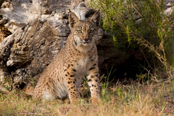 Iberian lynx. Photo by: A Rivas.