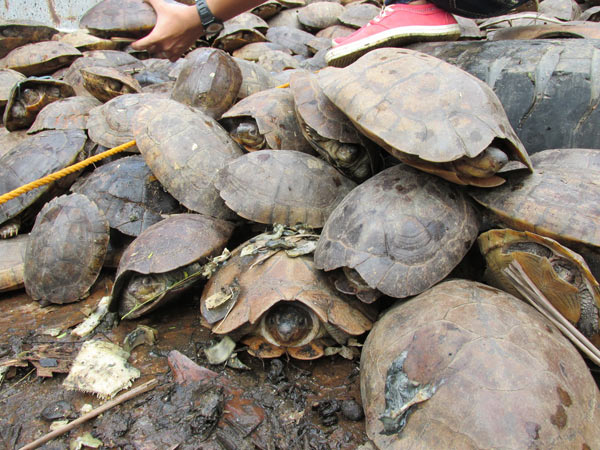 More than 3800 live Philippine forest turtles were stacked in heaps at the warehouse, where they awaited shipment to pet and food markets in China. Photo credit: Dr. Sabine Schoppe, Katala Foundation.