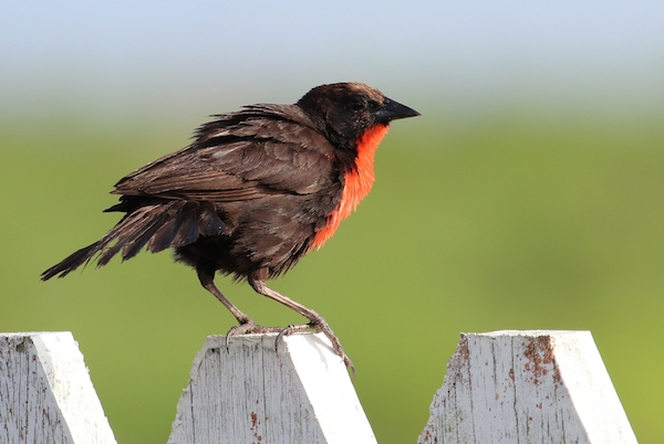 This red-breasted blackbird (Sturnella militaris) is one of the relatively few bird species found in oil palm plantations. Photo by Alexander Lees.