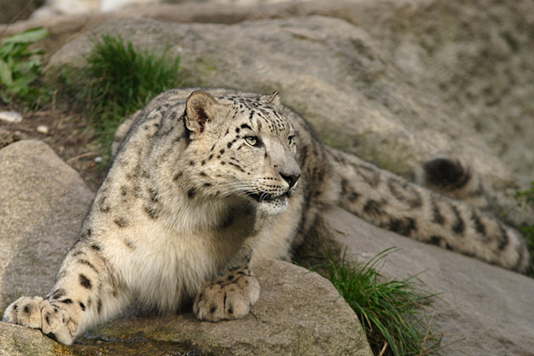 A very alert snow leopard. Photo credit: Bernard Landgraf, Wikimedia Commons.