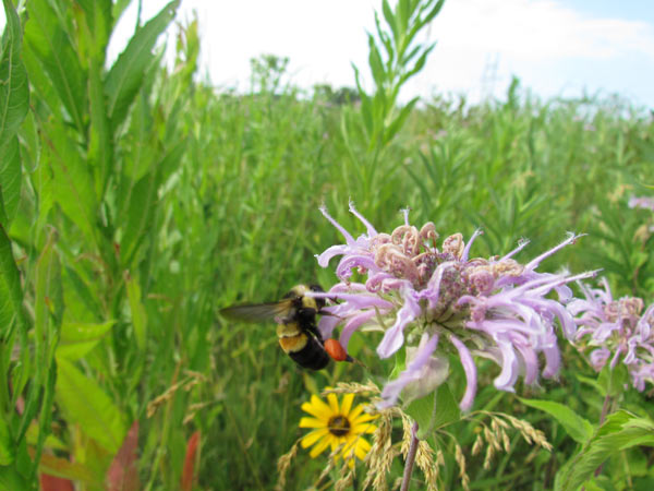 The Rusty patched bumblebee (B. affinis) foraging on a Bee balm blossom (Monarda fistulosa). Formerly common, this species is now near extinction across most of its range. Photo credit: Christy Stewart, 2012, xerces.org.