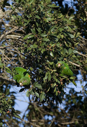 Santa Marta parakeets are social birds. Photo courtesy of Fundacion ProAves.