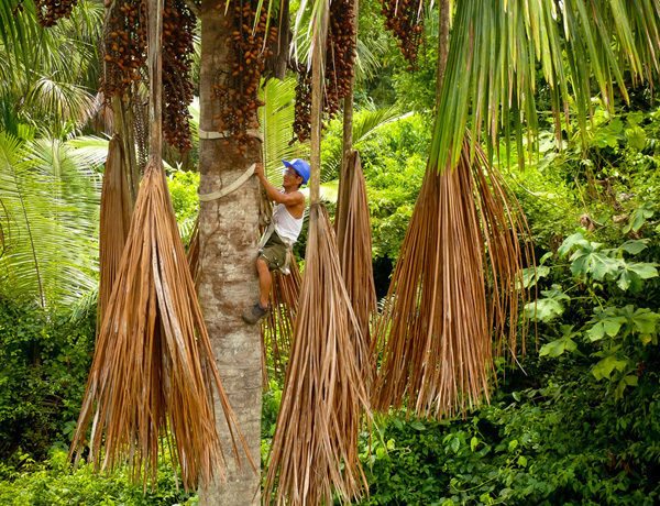 NCI's buriti project which works with local communities to protect areas of this wild palm (also known as aguaje or moriche palm), providing value in the form sales of of palm fruit and extracts. Courtesy of NCI.