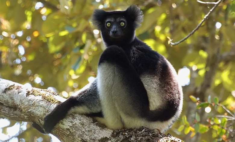 Indri Lemur. Courtesy of Rainforest Trust.