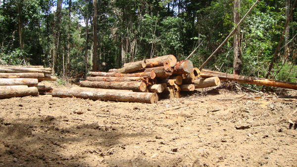 Logging site accessed by growing road network. Photo by Alexander Lees.