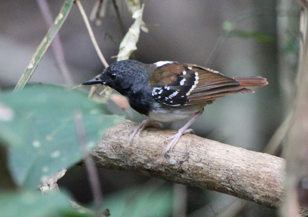 Chestnut-tailed Antbird (Myrmeciza hemimelaena), a bird species that scientists find to be sensitive to environmental impacts on its habitat. Photo by Alexander Lees.