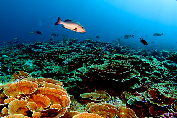 Remote, largely pristine coral in the Pacific. Photo by: Brian J. Zgliczynski.