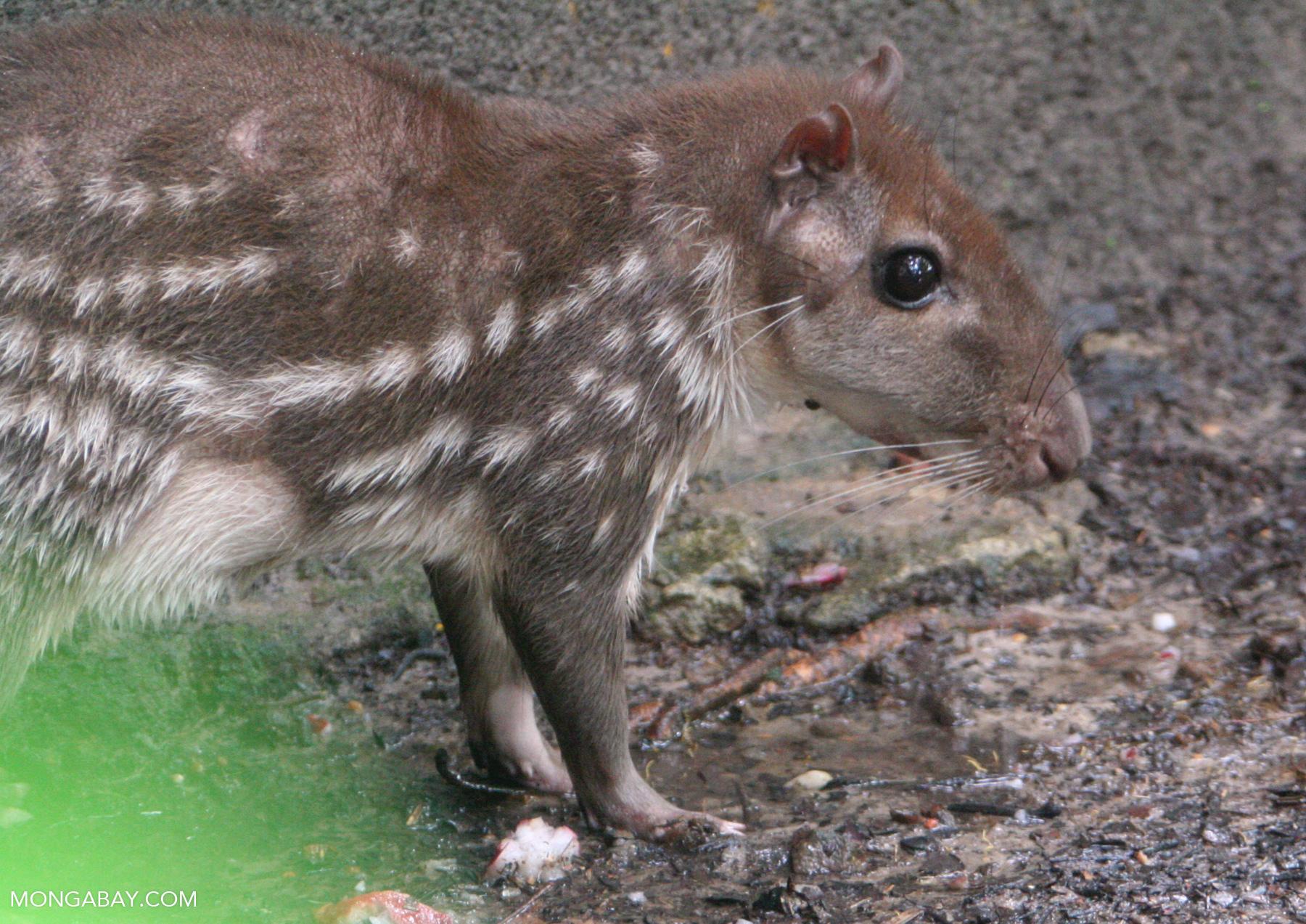 Borugo (Agouti taczanowskii), a large Amazon rainforest rodent.