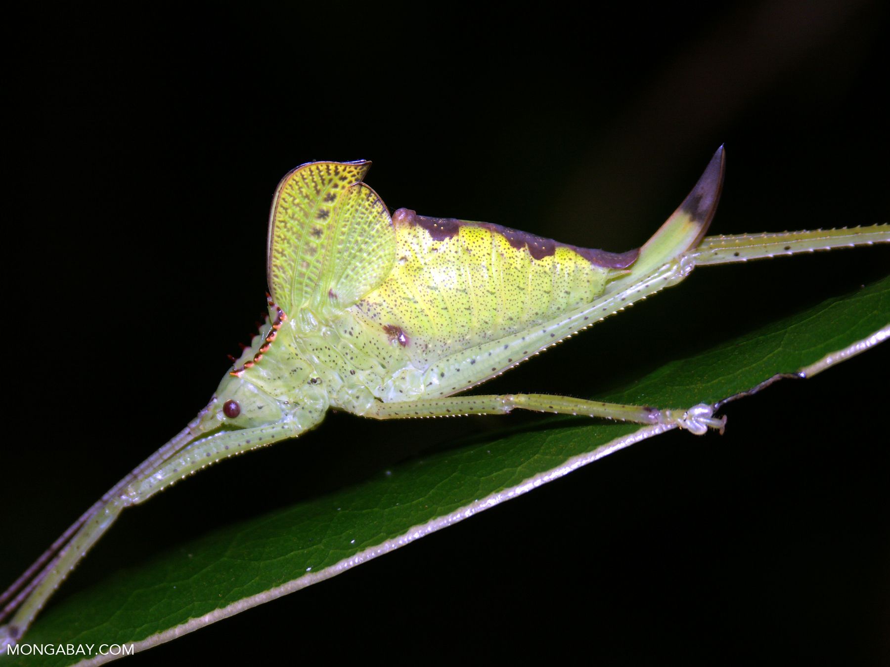 A leaf insect in Madagascar.