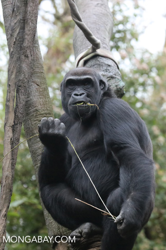 Lowland gorilla at the Woodland Park Zoo