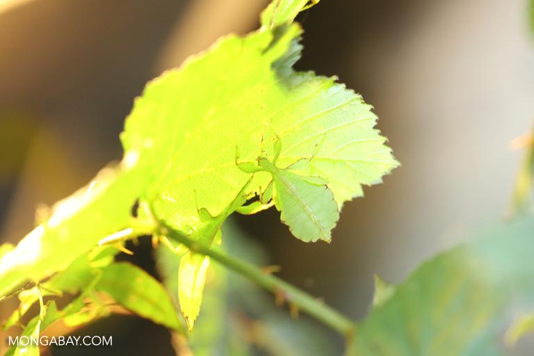 Leaf insect (Phyllium celebicum)