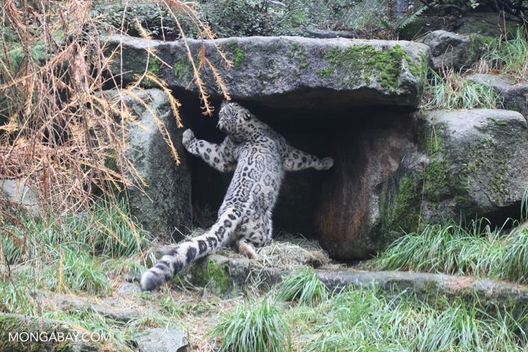 Snow leopard at the Woodland Park Zoo