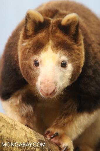 Matschie's tree-kangaroo (Dendrolagus matschiei)