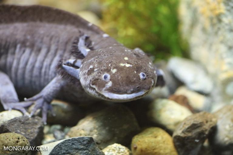Mexican salamander (Ambystoma mexicanum)