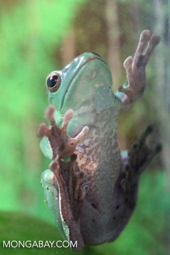 Chinese gliding frog (Rhacophorus dennysi)
