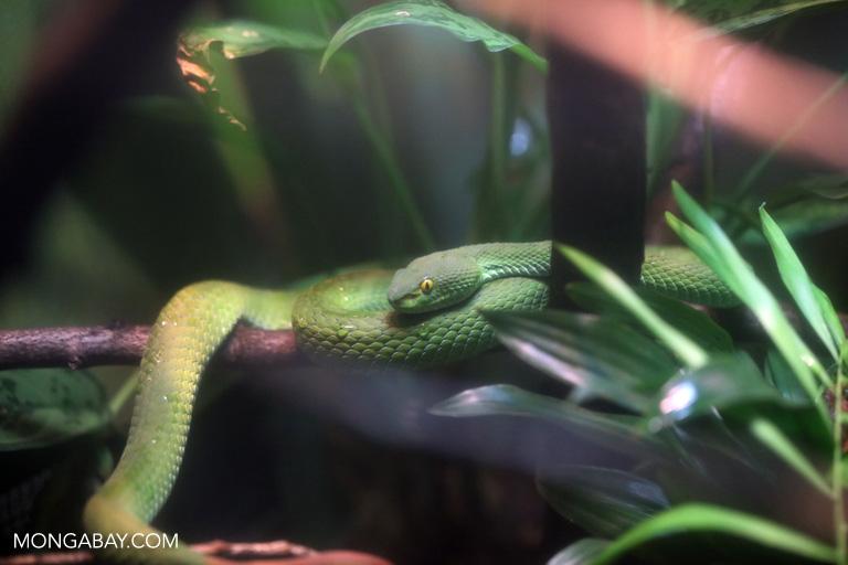 Large eyed pit viper (Trimeresurus macrops)