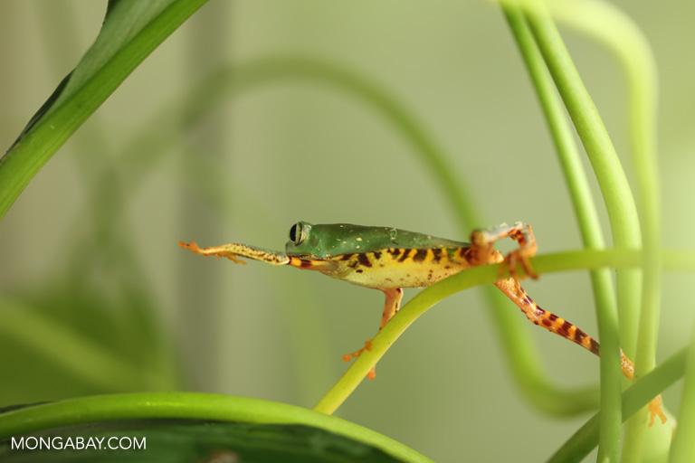 Phyllomedusa tomopterna tree frog