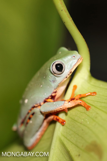 Barred leaf frog (Phyllomedusa tomopterna)