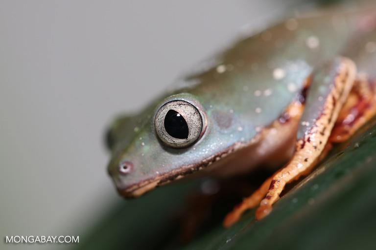 Tiger-leg monkey frog