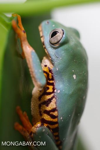 Barred leaf frog (Phyllomedusa tomopterna)
