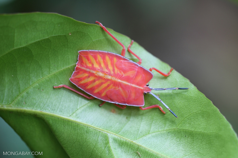 Pink shield bug