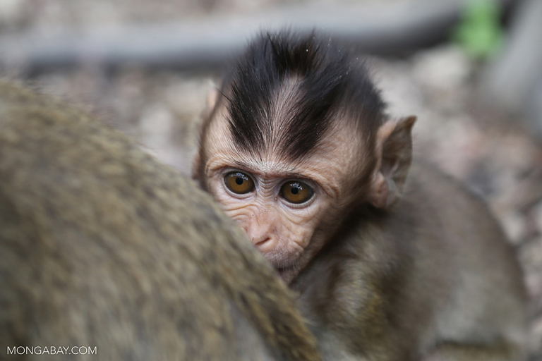 Baby long-tailed macaque