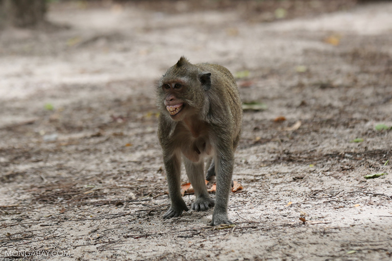Macaque bearing its teeth