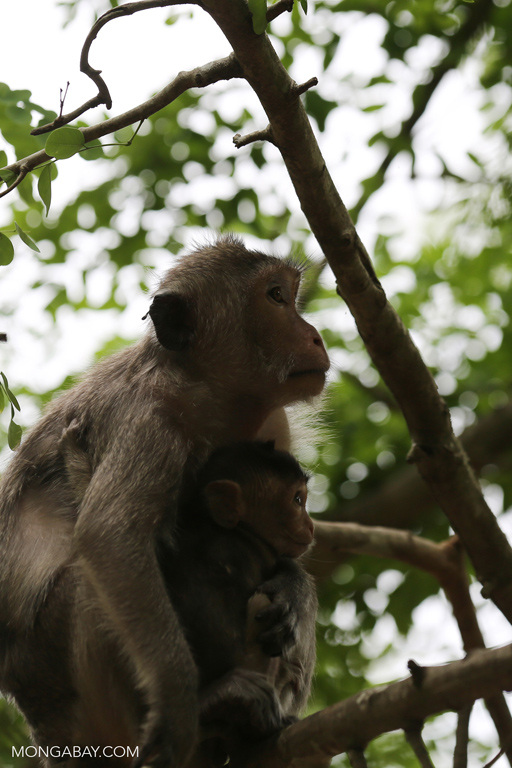 Mama macaque with baby